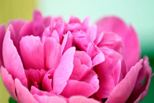 A peony flower